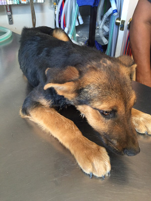 rescued German Shepherd puppy