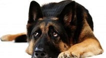 German Shepherds can be the most lovable, loyal and wonderful companions!