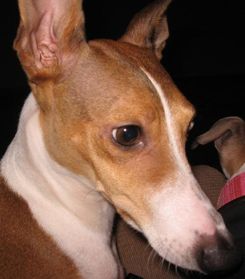 Italian Greyhound Rescue of Ohio